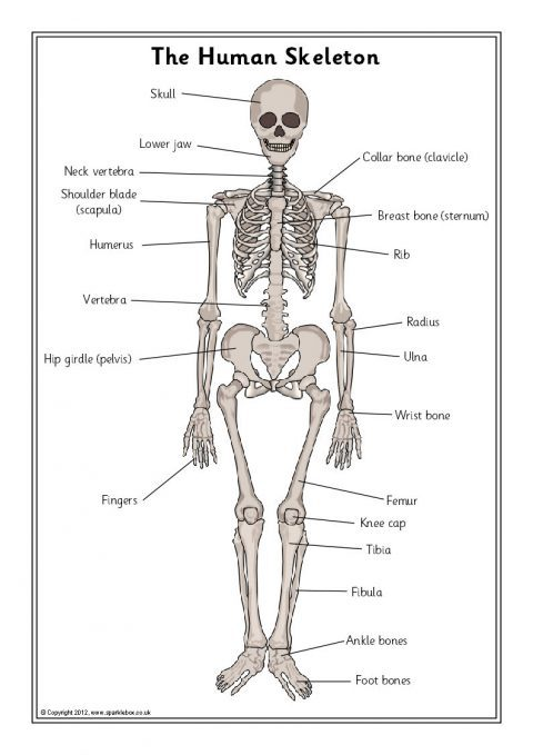 Skeleton, Bones And Internal Organs Teaching Resources
