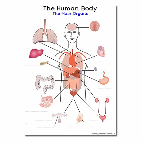 Main Organs Of The Human Body' A4 Worksheet (with Spaces To Label