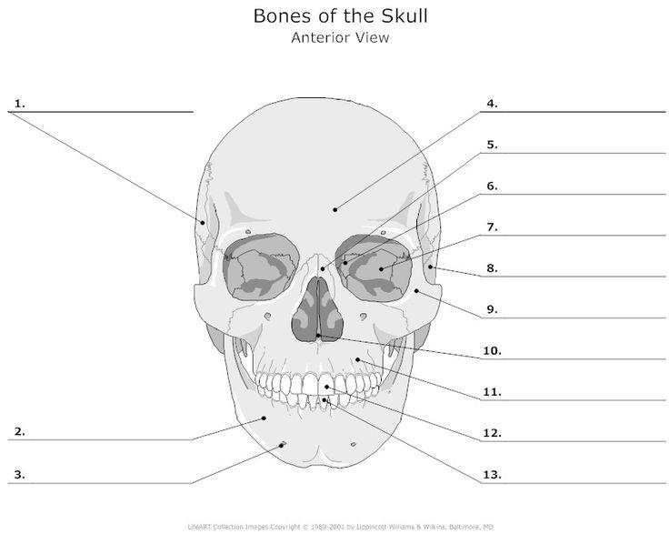 47 Best Anatomy Worksheets Images On Free Worksheets Samples Human Body Bones