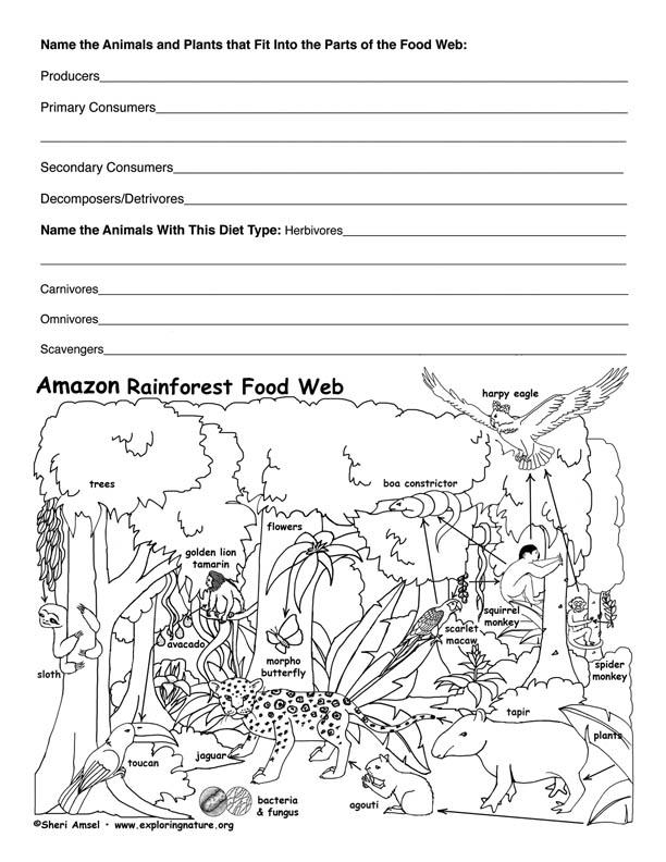 Rainforest Food Chain Diagram 3rd Grade
