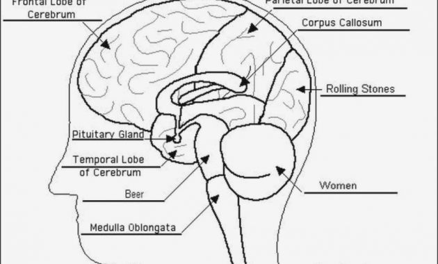 Anatomy Brain Diagram Worksheet Label The Brain Anatomy Diagram