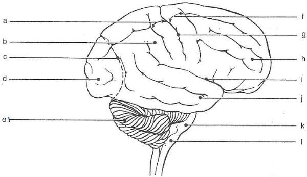 Exercise 19  Gross Anatomy Of The Brain And Cranial Nerves