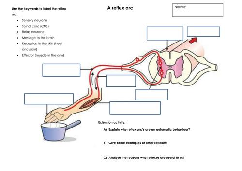 Reflex Arc Worksheet Docx