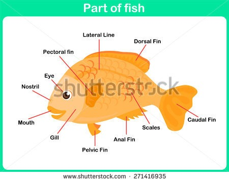 Vector Images, Illustrations And Cliparts  Leaning Parts Of Fish