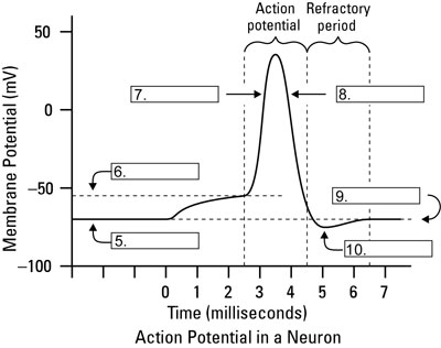 Action Potential Of Neurons