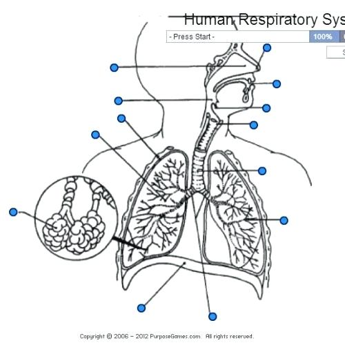 Label The Respiratory System Worksheet Answers