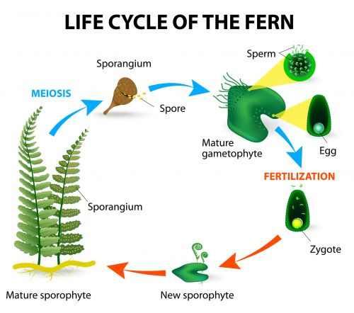 Life Cycle Of The Fern