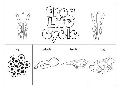 Frog Life Cycle Worksheet For Kindergarten