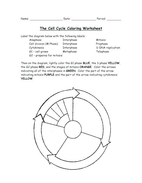 Cell Cycle Coloring Sheet The Cell Cycle Coloring Worksheet Dna