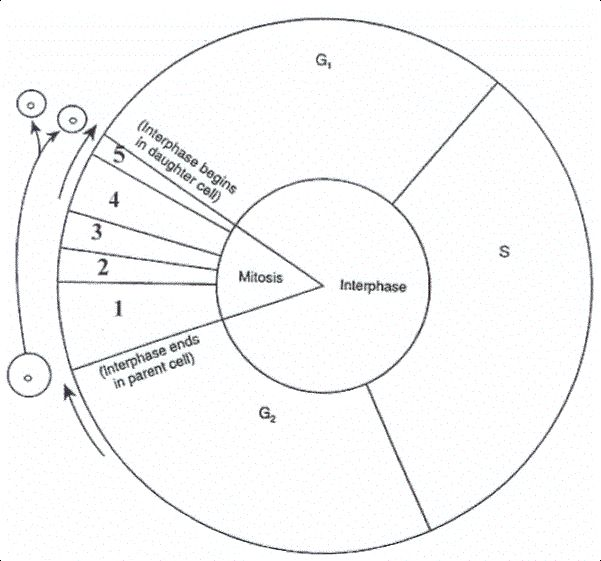 Cell Cycle Coloring Sheet The Cell Cycle Coloring Worksheet