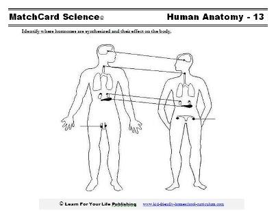 Endocrine System Worksheets