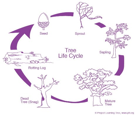 Stem  Tree Lifecycle