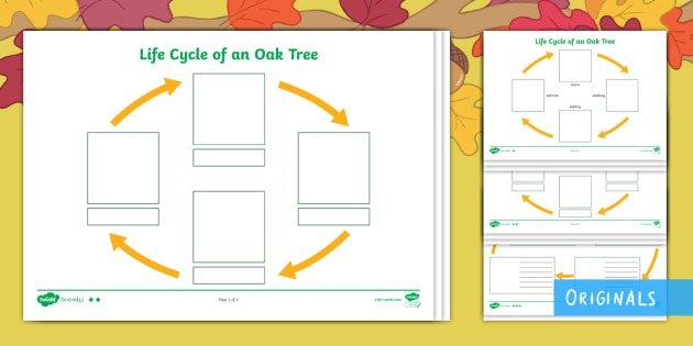 Little Acorns Life Cycle Of An Oak Tree Differentiated Worksheet