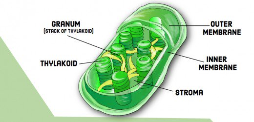 Compare And Contrast  Chloroplasts And Mitochondria