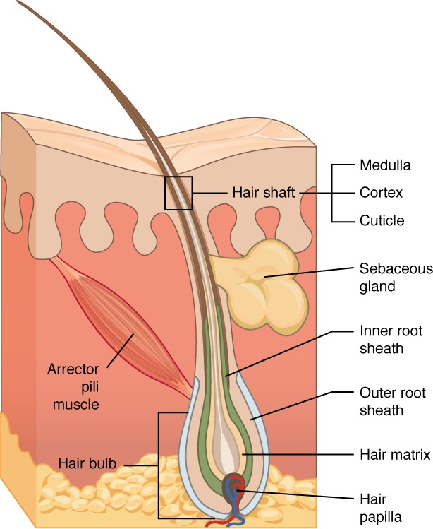 5 2 Accessory Structures Of The Skin – Anatomy And Physiology