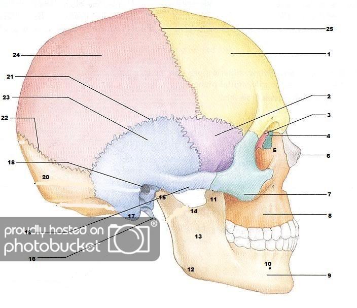 Blank Skull Diagrams