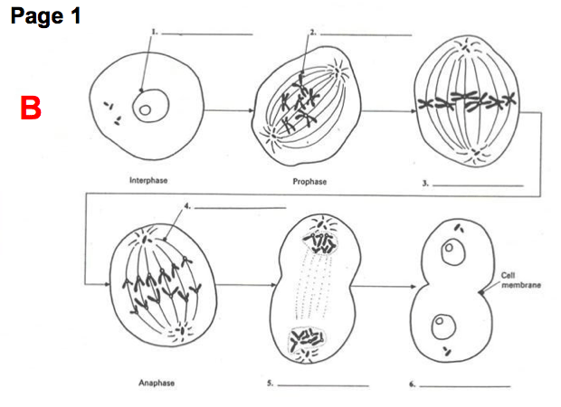 Beautiful 13 Cell Labeling Worksheet Mitosis And Meiosis At