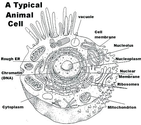 Plant Cell Coloring Diagram Animal Worksheet And Answers Page