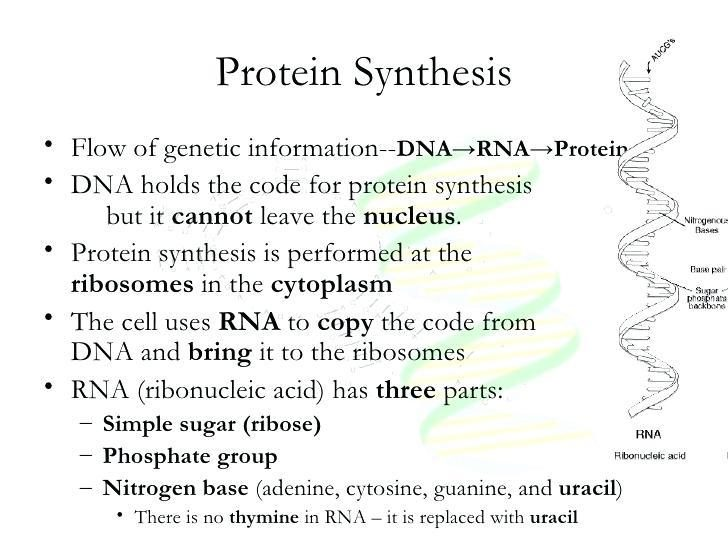 Protein Synthesis Worksheet Answers 33674600008 Protein Synthesis