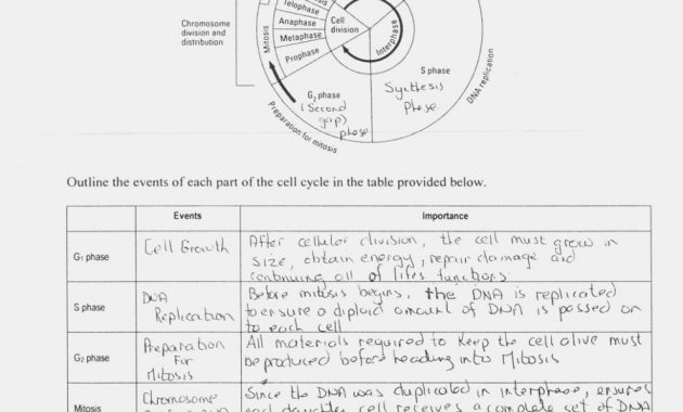 The Cell Cycle Worksheet Answers Division B13fl13, Cell Cycle