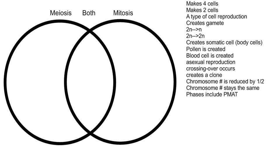 Meiosis And Mitosis Venn Diagram Worksheet