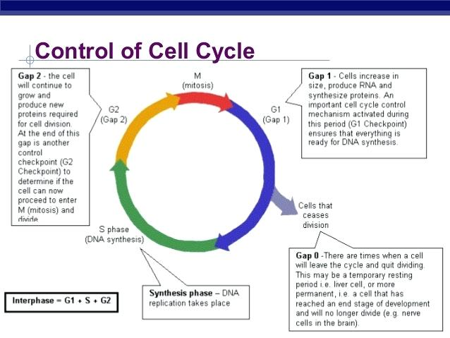 The Cell Cycle Worksheets Key