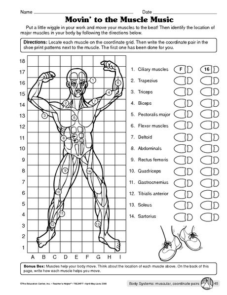Muscular System Worksheet …