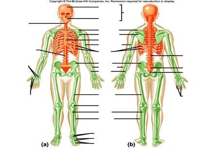 Axial Skeleton Worksheets