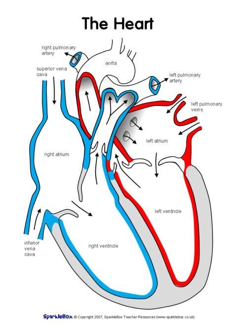 Label The Heart Worksheets (sb6634)