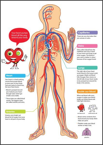 Pictures Of The Circulatory System For Kids Chsh Circulatory