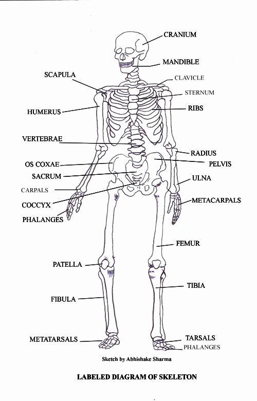 Axial Skeleton Worksheet