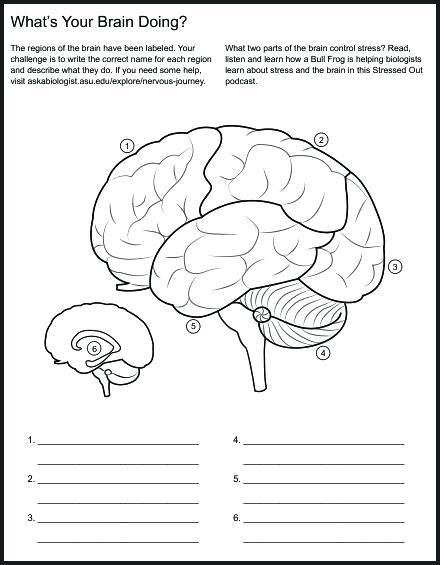 Brain Diagram 4 Lobes Inside System Lies The Cerebrum