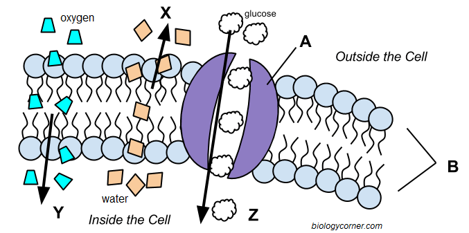 Cell Membrane And Transport Worksheets Answers  27977479123 – Cell