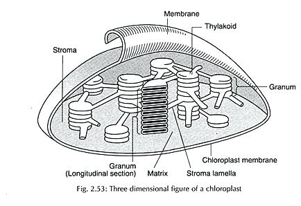 Chloroplast Structure Diagram Worksheet 3 – Michaelhannan Co