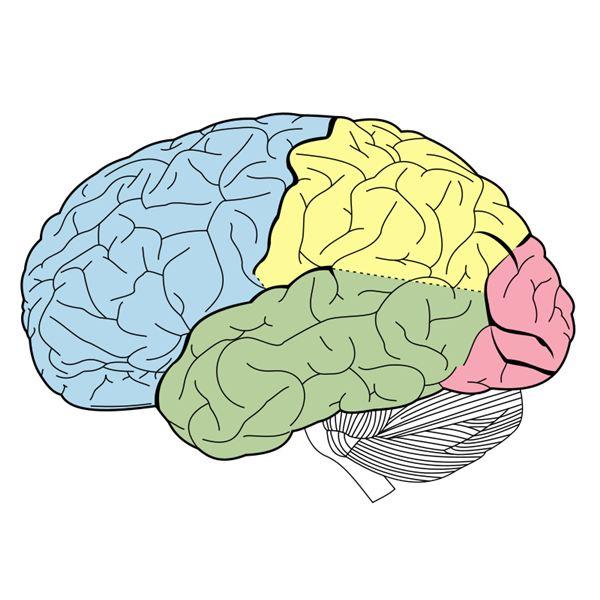 Lesson Plan  Basic Brain Anatomy For Elementary School