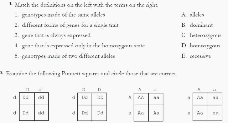 Monohybrid Cross Worksheet Answers