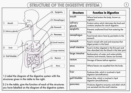 Human Body Systems Worksheets Middle School Human Body Systems
