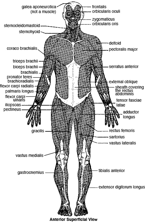 The Skeletal System Worksheet Answers