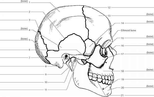 Human Anatomy Labeling Worksheets Skull Anatomy Labeling Anatomy
