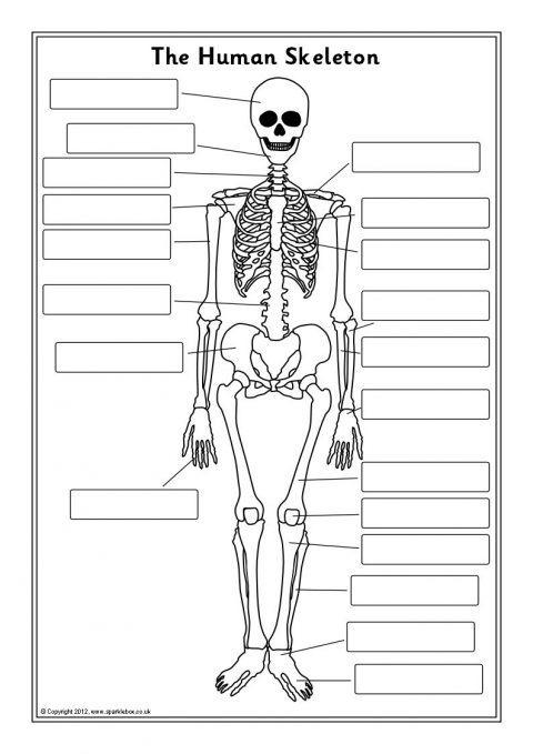Human Skeleton Labelling Sheets (sb7889)