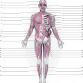Labeling The Muscular System Worksheets