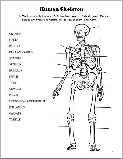 Image Result For Teacher Handouts Skeleton Diagram Without Labels