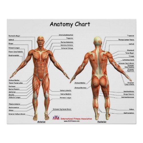 Printable Human Muscular System Muscles