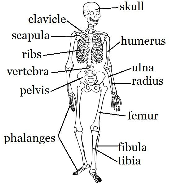 Skeleton Worksheet And Craft