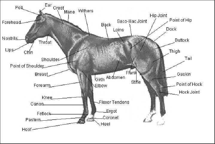 Printables  Horse Anatomy Worksheet  Lemonlilyfestival Worksheets