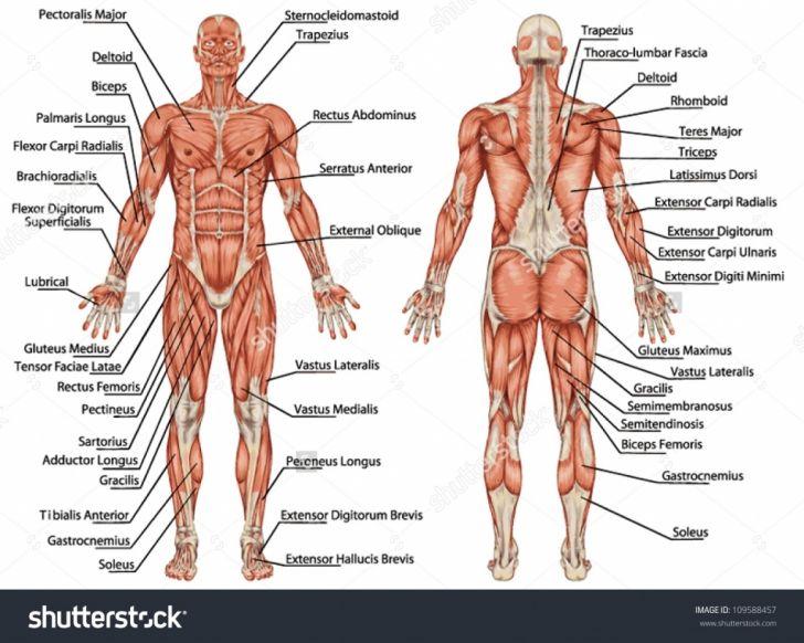 Muscular System Labeling Worksheet