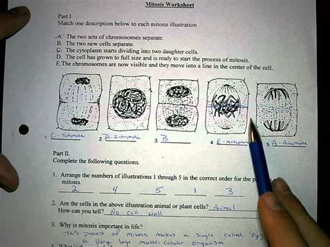 Mitosis Worksheet And Diagram Identification Answers