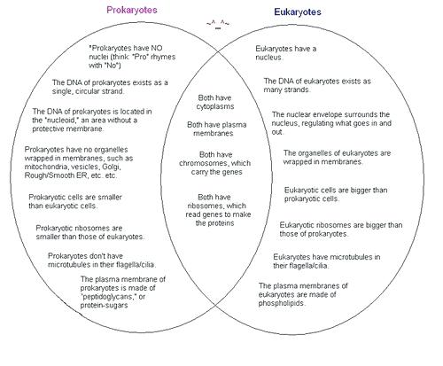 Prokaryotes And Eukaryotes Venn Diagram – Michaelhannan Co