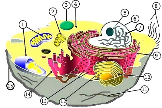 Free Animal Cell Unlabeled, Download Free Clip Art, Free Clip Art