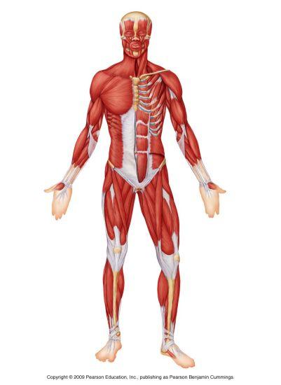 Westwood Warriors » 6  Muscular